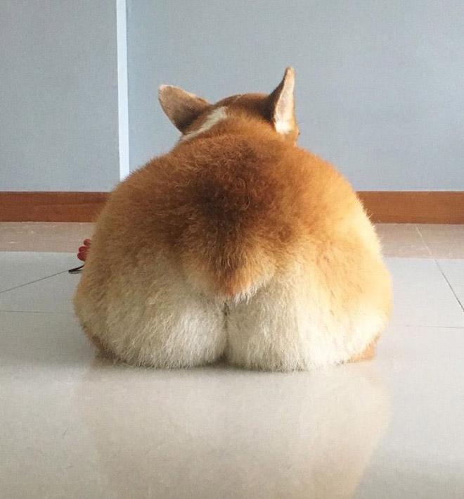 Corgi butt.