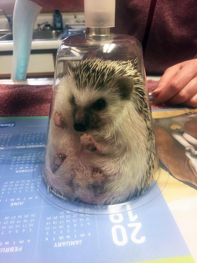 Hedgehog anesthesia.