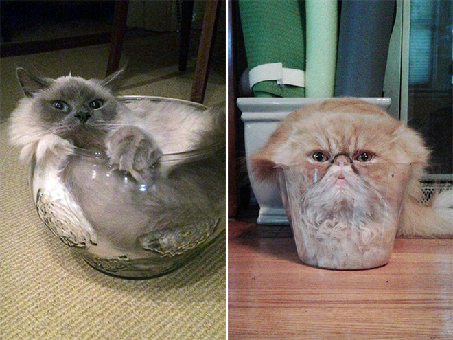 Cats in glass bowls.
