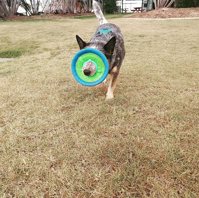 Some dogs have no idea how to hold a frisbee.