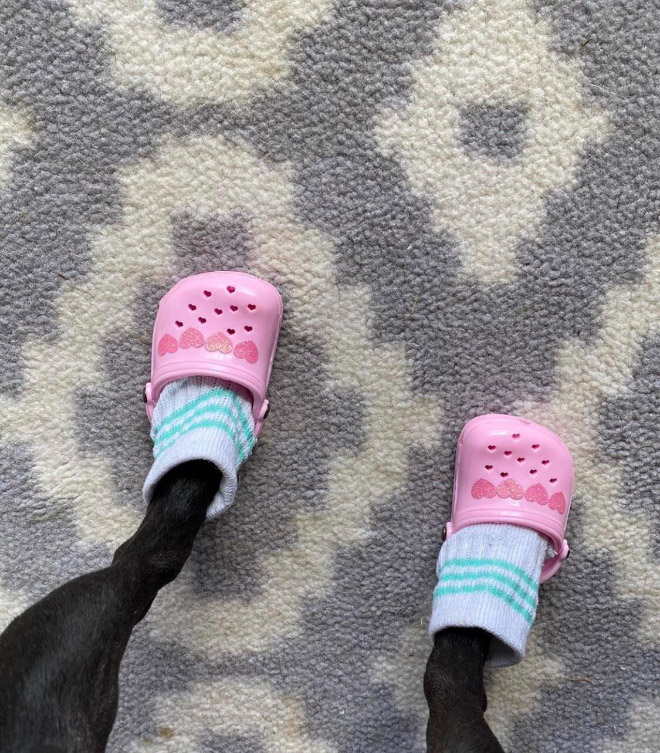 Dog crocs.