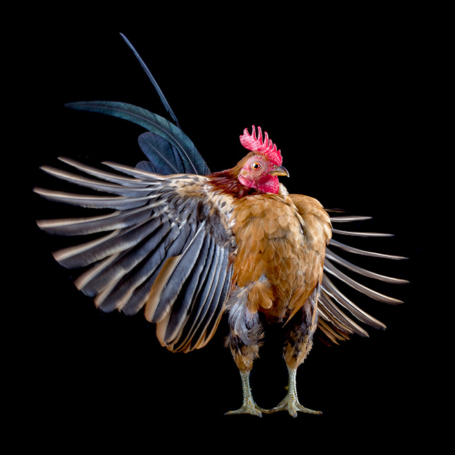 Serama chickens: the most pompous chicken breed.