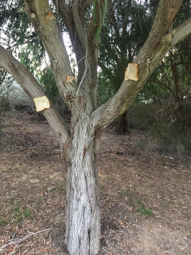 Bread stapled to a tree.